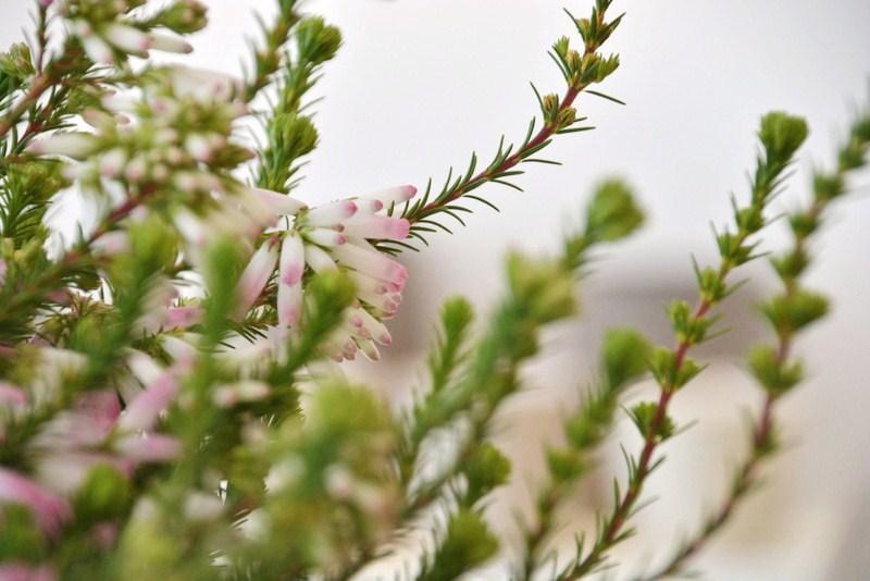 Heidepflanze