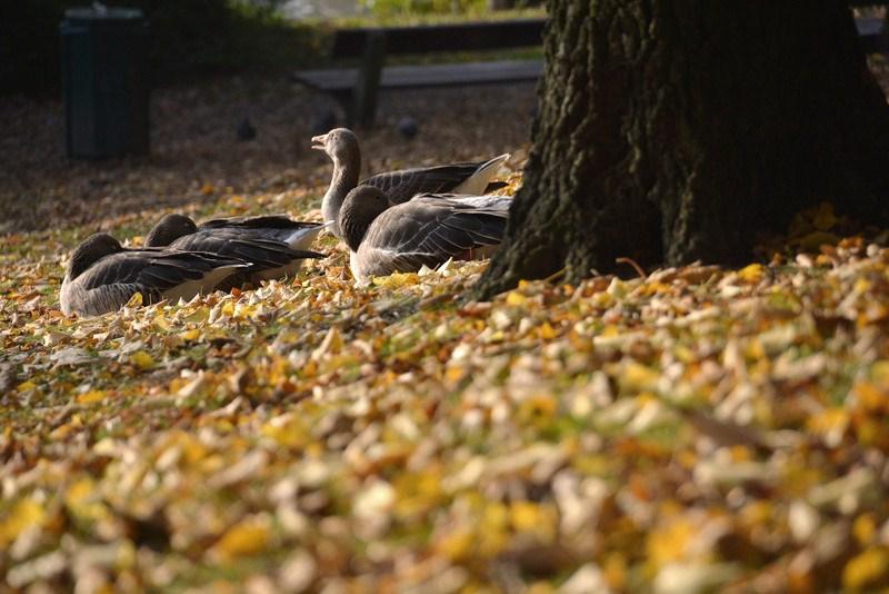 Gänse im Herbstlaub